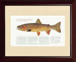 Yellow Stone Cutthroat Trout