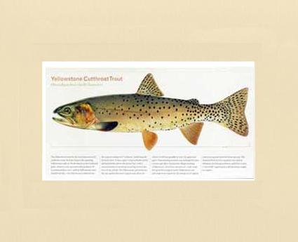 Tomelleri Trout Prints