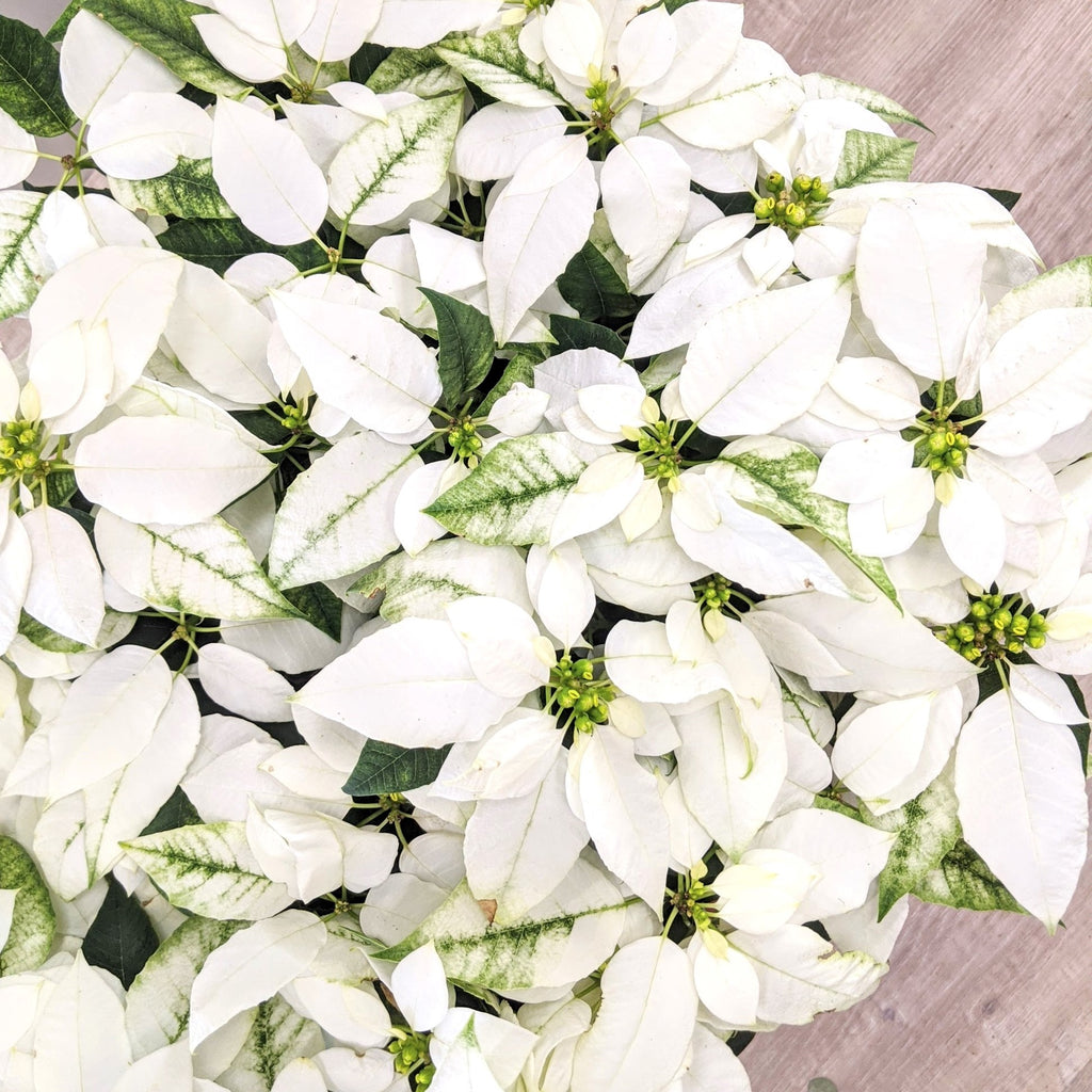 Christmas Flowers Botanical Art Florist Blue Mountains Lawson White Poinsettia Potted Plants