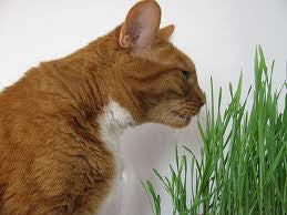 Cat Grass Seeds (Organic)