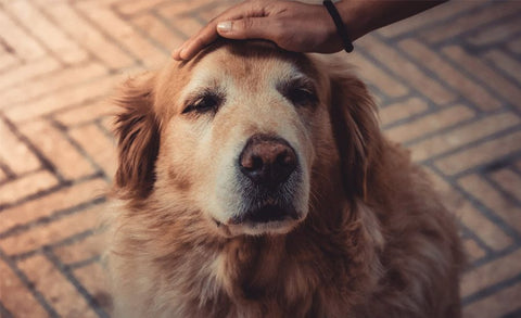 CBD Oil for Dogs: Best Practices
