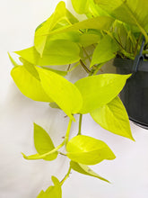 Load image into Gallery viewer, Golden pothos hangpot 20% OFF WAS £15