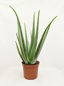 Giant Aloe vera HALF PRICE WAS £55