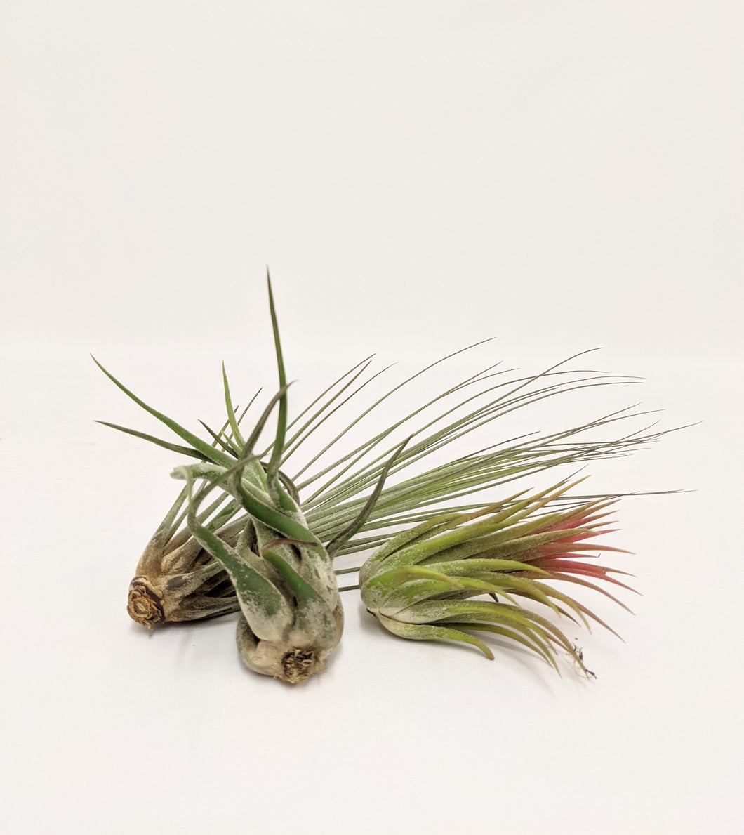 Tillandsia air plants - lucky dip