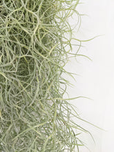 "Load image into Gallery viewer, Tillandsia usneoides ""Spanish moss"""
