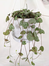 Load image into Gallery viewer, Ceropegia woodii / 'string of hearts' hangpot 11cm