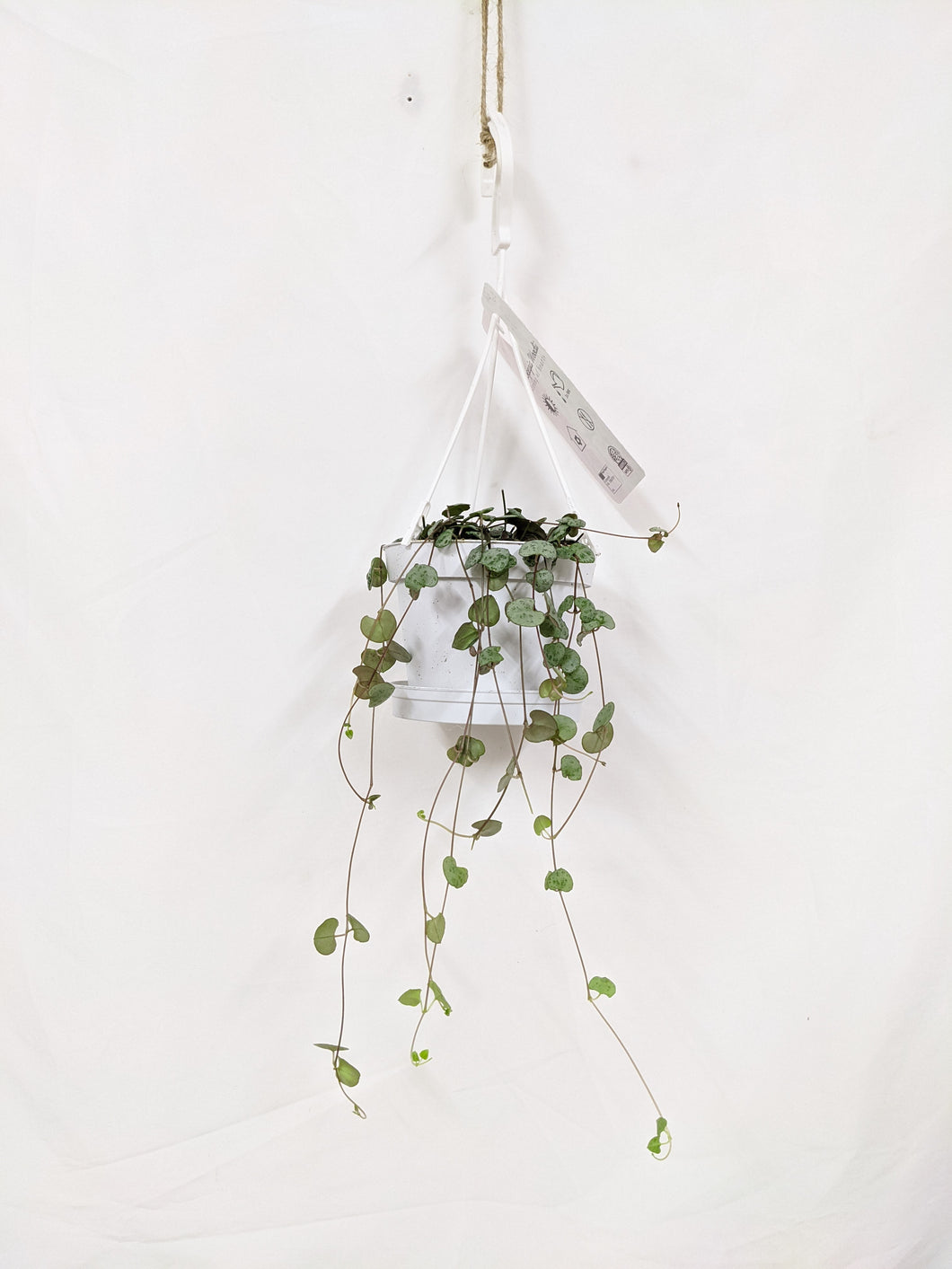 Ceropegia woodii / 'string of hearts' hangpot 11cm