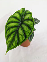 Load image into Gallery viewer, Alocasia 'Dragon Scale' 12cm