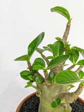 Load image into Gallery viewer, Adenium obesum in terracotta 17cm 20% OFF WAS £59