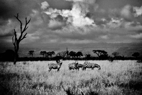 ZEBRAS AND TREE   Kenya b&w