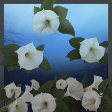 Load image into Gallery viewer, Moonflower