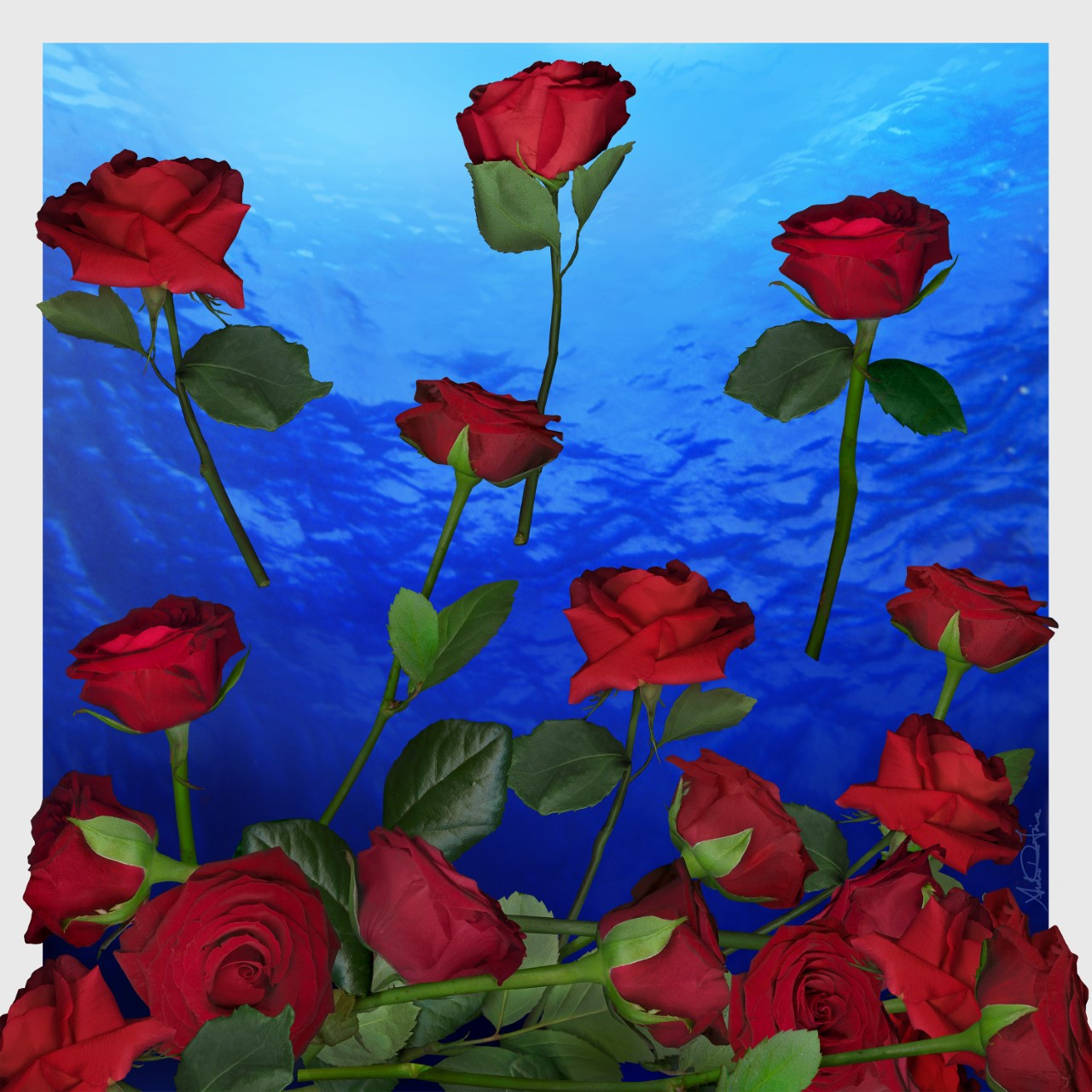 Rose, Beautiful, National flower of America.Luxury, 100% silk, made in Italy.