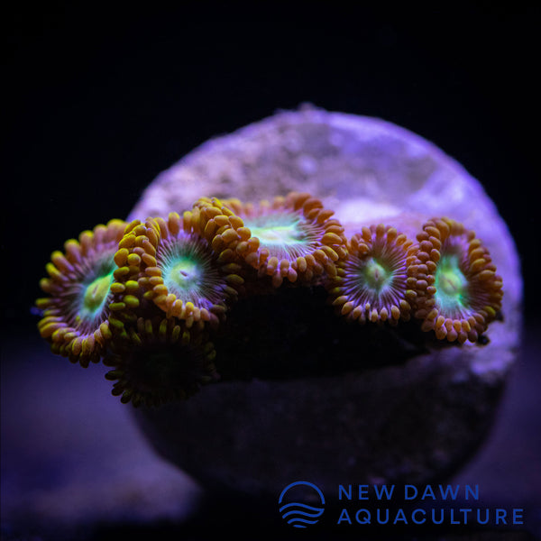Green Dragon Eye Zoanthids