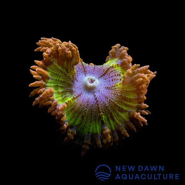 Orange Dragon Egg Rock Flower Anemone