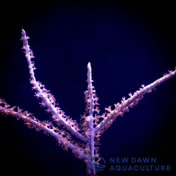 Sea Fan Gorgonian