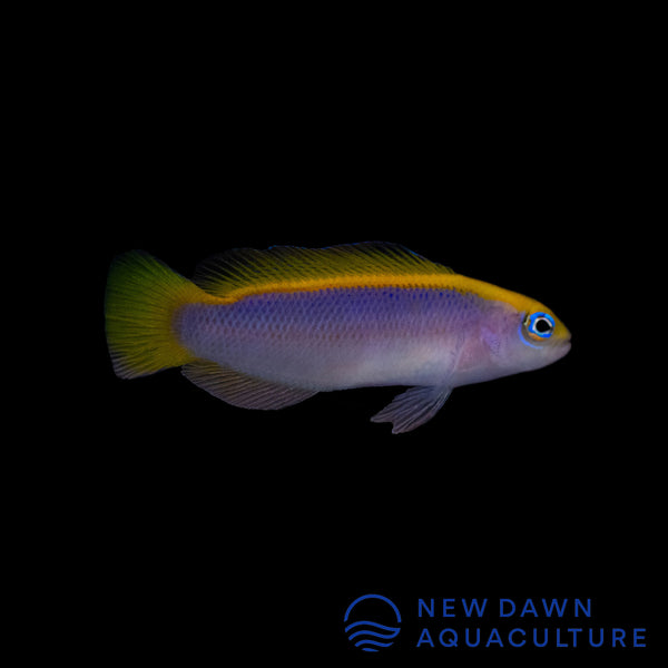 Sunrise Dottyback
