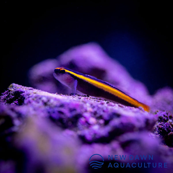 Yellowline Cleaner Goby