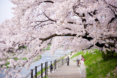 Best Places to See Japan's Cherry Blossoms