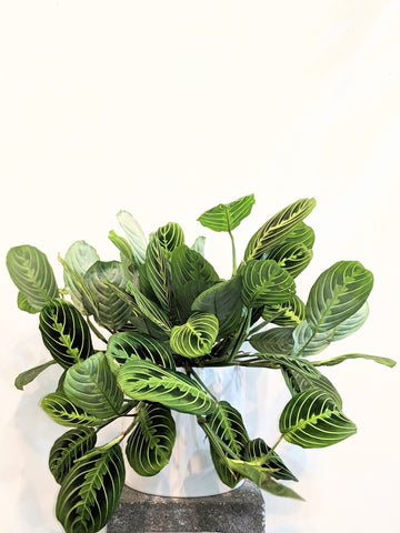 Maranta Lemon-Lime