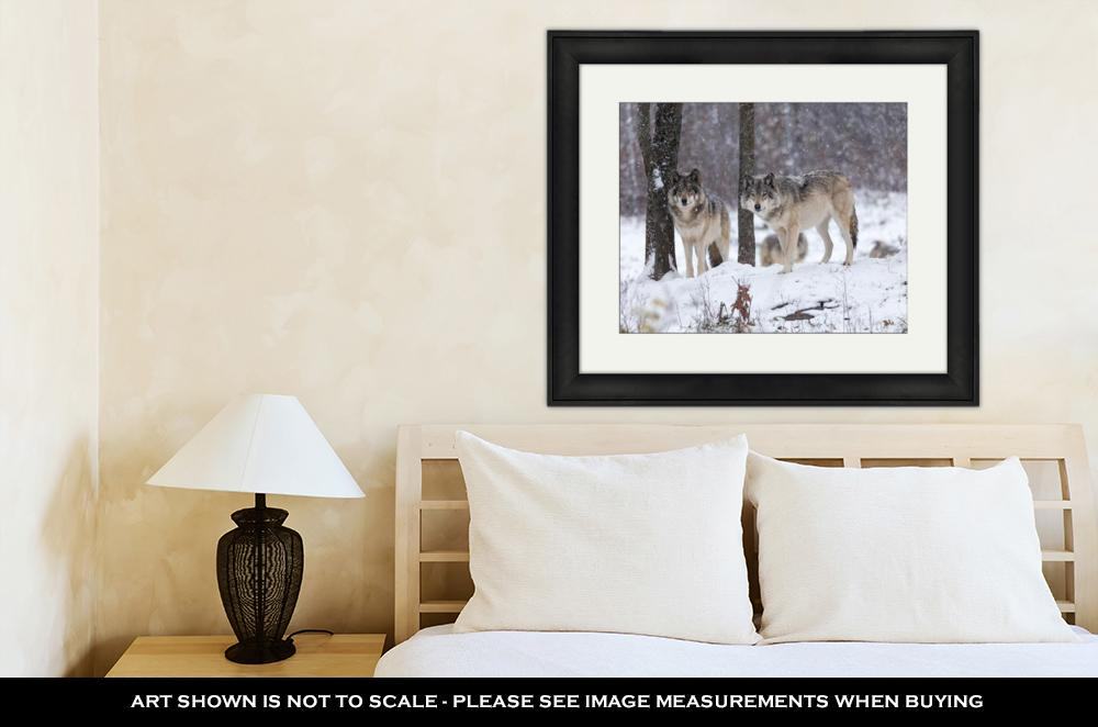 Framed Print, Lone Timber Wolf In A Snow Storm - emeralds-gift-palace