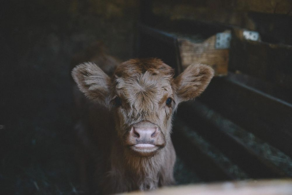 Baby Cow used in Leather Industry