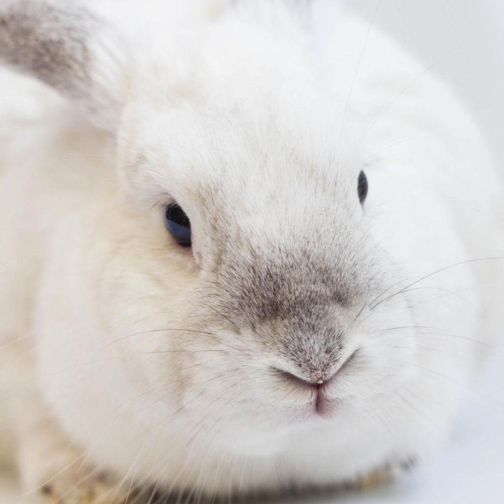 cute white fluffy bunny face