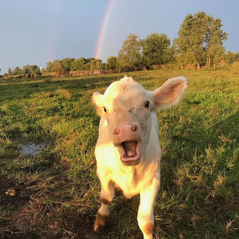 cute baby cow smiling rainbow