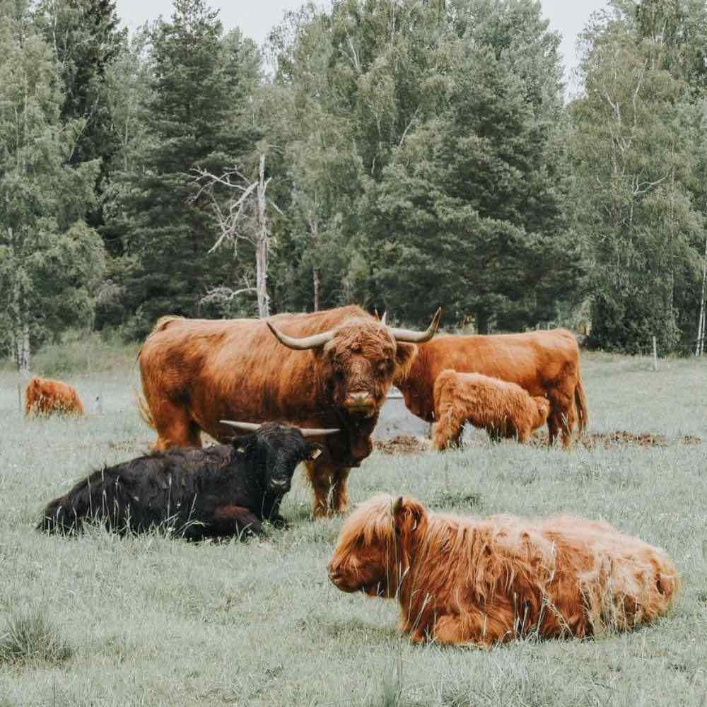 cows resting together