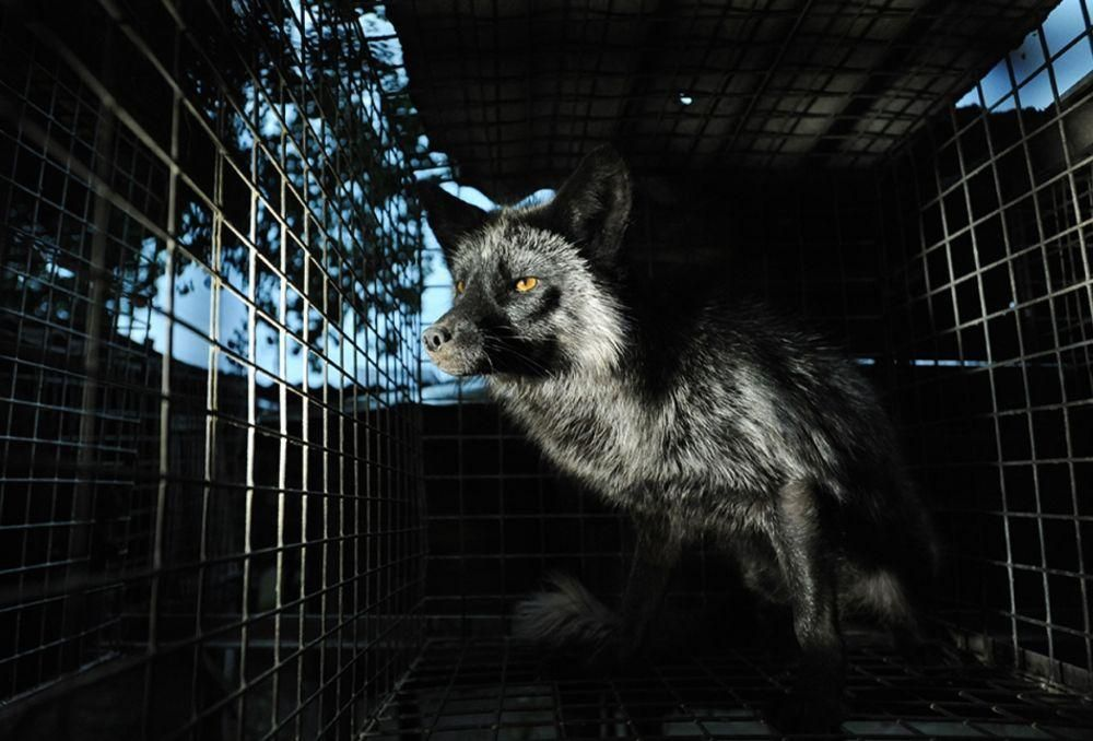 fox fur farm cruel cage