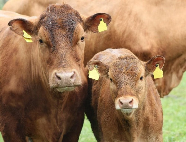 cows in leather industry
