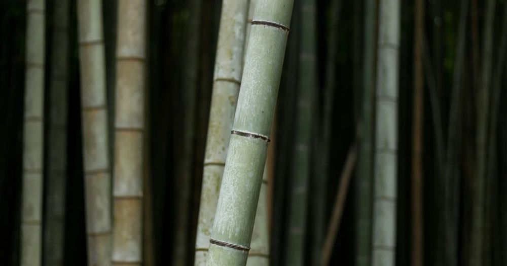sustainable bamboo crop