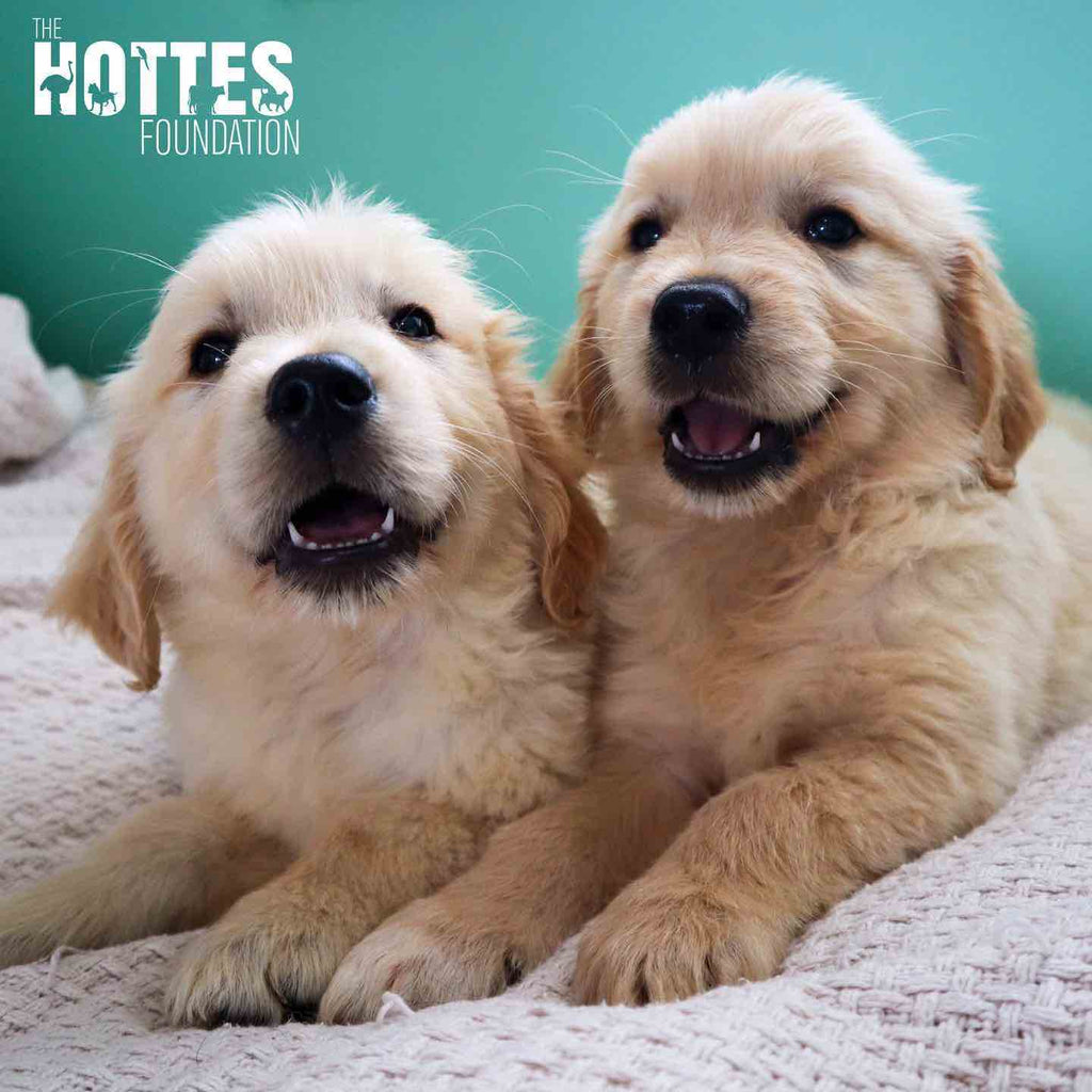 rescued, bling golden retriever puppies