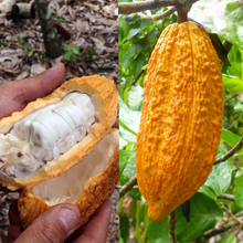 Load image into Gallery viewer, cacao single origin ecuador, cacao plantation - cacao bean, cacao pod