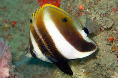 Highfin Coralfish L 281119