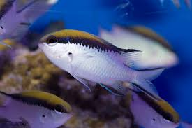 Barrier Reef Chromis