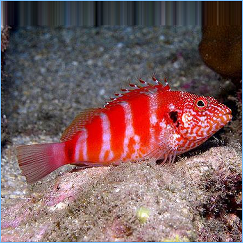 Red Banded Hawk Fish