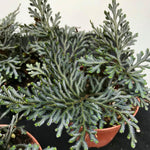 Selaginella Erythropus (8.5cm pot)
