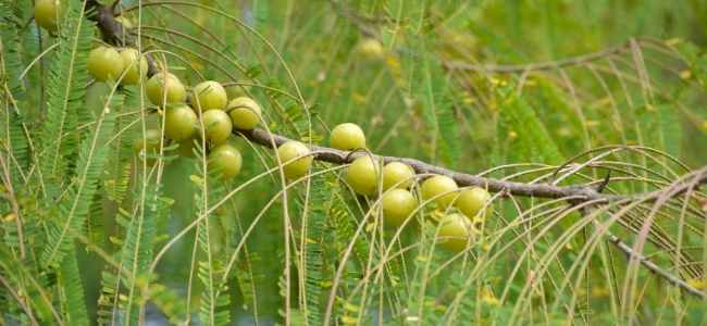 Benefits of Indian Gooseberry or Amla