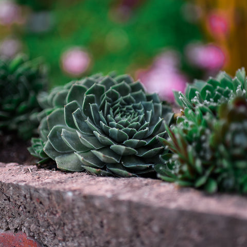 Echeveria_outdoor_plant_care