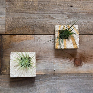 Air Plant Sconce - Gold Leaf