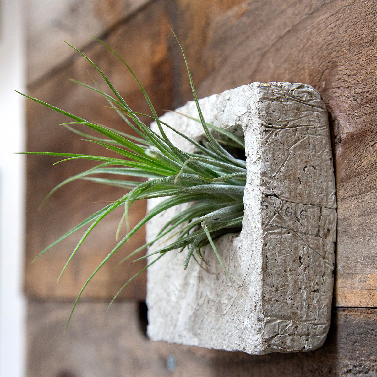 Air plant sconce with airplant
