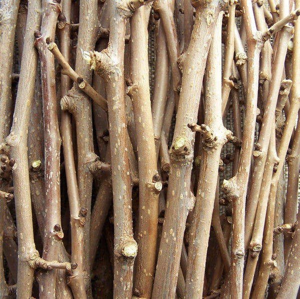 Organic Mulberry Chew Sticks