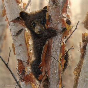 Curious black bear cub climbing birch tree painting art print by Collin Bogle.