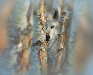 White wolf hidden in birch trees painting art print by Collin Bogle.