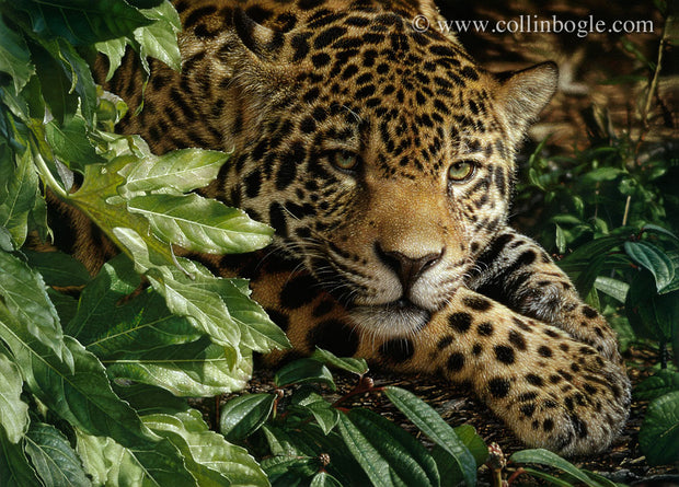 Jaguar laying on paws painting art print by Collin Bogle.