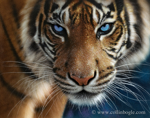 Tiger with blue eyes painting art print by Collin Bogle.