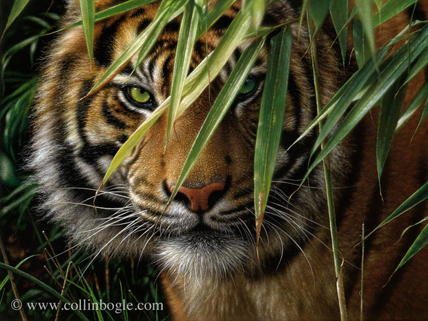 Tiger in bamboo painting art print by Collin Bogle.