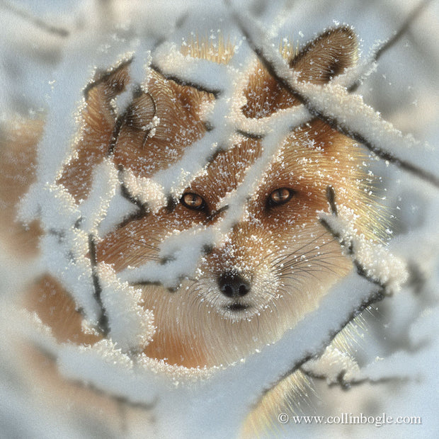 Red fox in snowy branches painting art print by Collin Bogle.