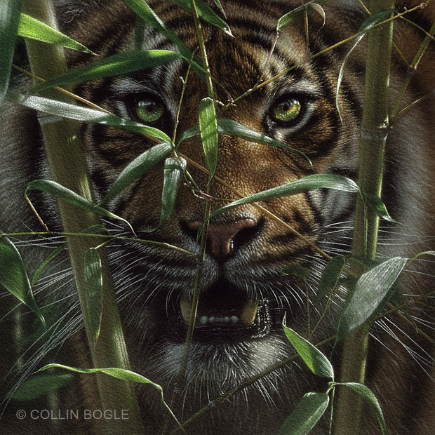 Tiger - Hungry Eyes