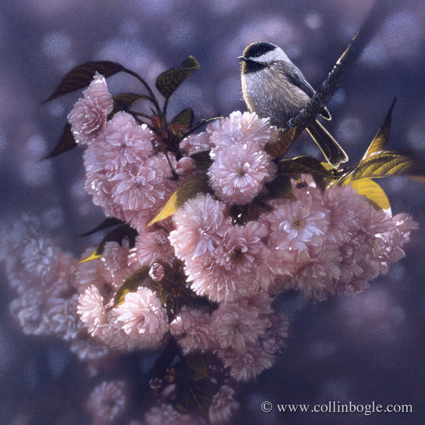 Black-capped chickadee in pink spring blossoms painting art print.